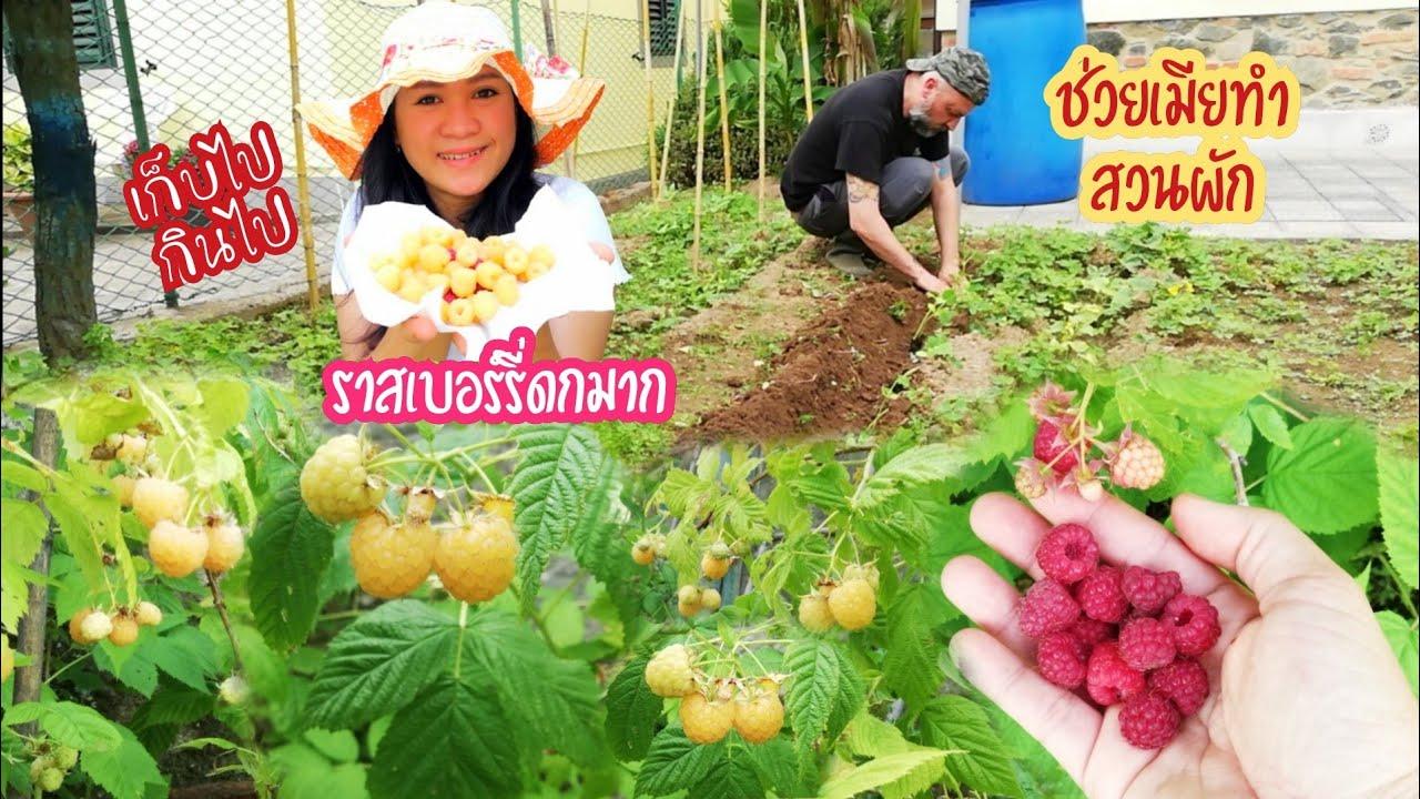 เก็บราสเบอร์รี่สีเหลืองดกๆหวานๆ ช่วยกันทำสวนผักในอิตาลี่