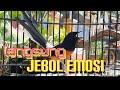 Jebol Emosi Murai Batu Full Ngotot  Mp3 - Mp4 Download