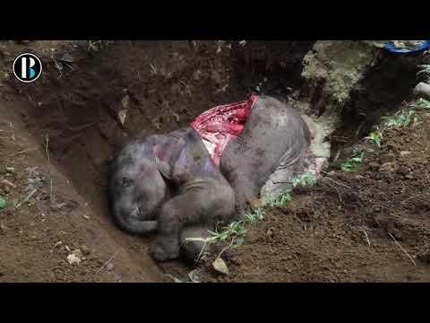 Muere una bebé elefante  tras caer en una trampa