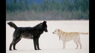 Хозяин в ужасе смотрел как волк приближается к его псу, то что произошло далее ШОКИРОВАЛО всех