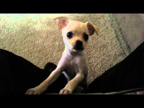 My baby Chihuahua learning to sit! She's so smart!