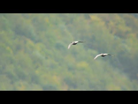 Kolkrabe Flugspiele, common