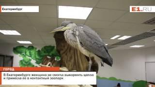 В Екатеринбурге женщина не смогла выкормить цаплю и принесла ее в контактный зоопарк