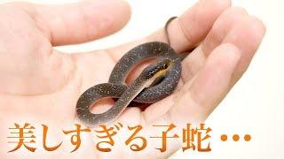 超絶美しい...そしてかわいすぎる子ヘビ