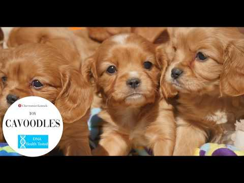 Toy Cavoodle Pups!