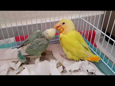 Two Baby Lovebirds Bonding-Singapore (March 2018)