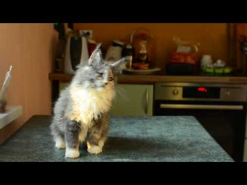 Su meile Ginger - blue tortie 12 weeks maine coon female