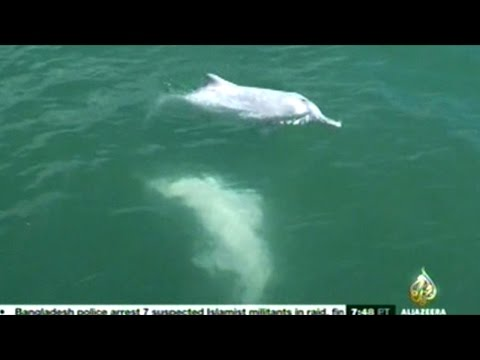 Only 61 Hong Kong Pink Dolphin Believed Left Alive