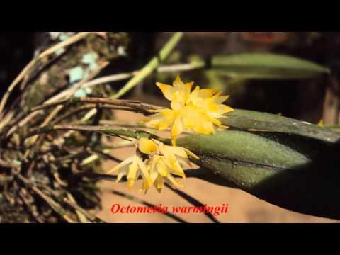 Orquideas nativas das matas de Benedito Novo - SC Parte II