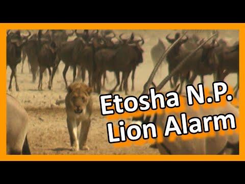 Namibia - Lion Alarm