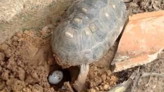 Tartaruga botando ovos.....EMOCIONANTE !!!