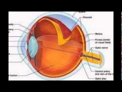 Function Of The Eye