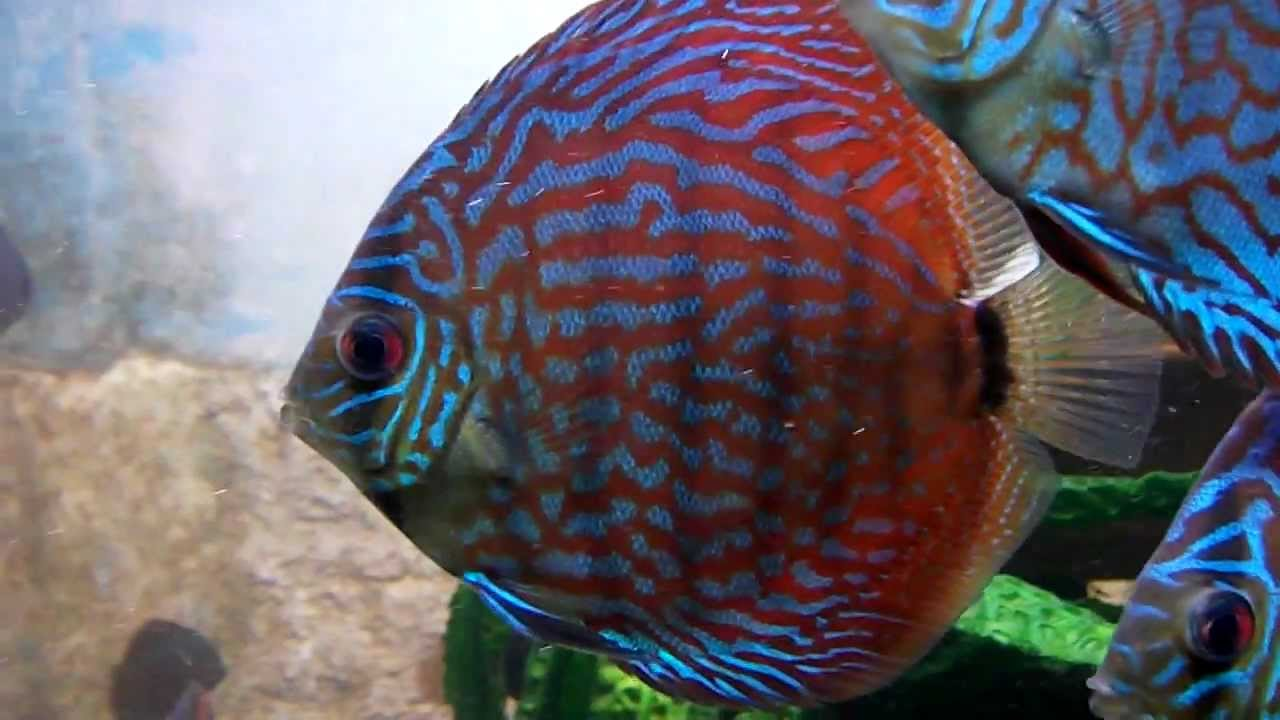 The most beautiful aquarium fish blue turquoise discus for Best place to buy discus fish