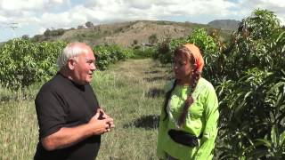 Kesar Mango Plantation in the Dominican Republic ( Spanish )