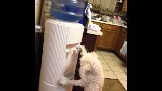 Video Dog Drinking From Water Cooler ( My Dog Is A G) download MP3, 3GP, MP4, WEBM, AVI, FLV Oktober 2018