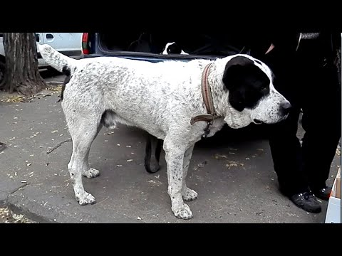 ОПАСНЫЙ  АЛАБАЙ Алан. Central Asian Shepherd Dog.Одесса.