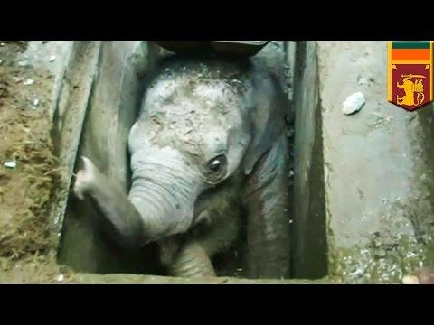 Animal rescue video: Baby elephant falls down Sri Lanka storm drain and breaks its leg - TomoNews