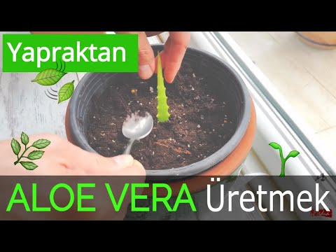 Aloe Vera Bitkisi Nasıl Yetiştirilir ve Kullanılır? Günlük Doğal Cilt Bakımı için Öneriler - Tavsiye
