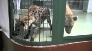 円山動物園のライオンとハイエナ。 ハイエナが初公開された日の、にらみ...