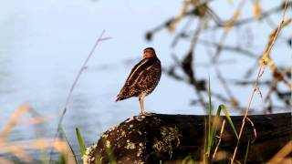 Download MVI 6501 wilson's snipe calling out