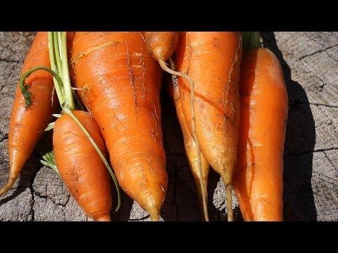 Download Marchew - wysiew i uprawa marchwi w ogrodzie