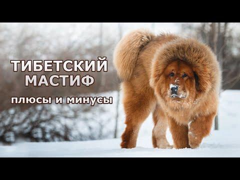 ТИБЕТСКИЙ МАСТИФ. Плюсы и минусы породы Tibetan mastiff