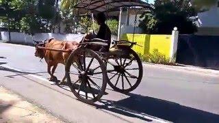 Bullock Cart Galle