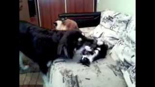 Бурят-монгольская собака. Опасный ТРЮК!!!