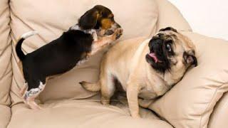Cười không nhặt được mồm với chó pug đáng yêu nhất hành tinh -  MEOMEOTV ✔