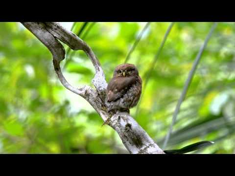 Least Pygmy-Owl, Glaucidium minutissimum, Caburé-miudinho