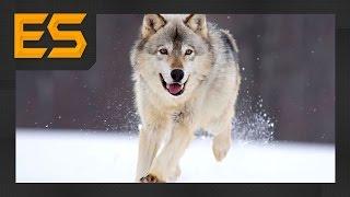УЖАС ВОЛК УКРАЛ СОБАКУ С ЦЕПИ / HORROR THE WOLF STOLE THE DOG