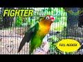 Lovebird Fighter Ngekek Panjang Memancing Lawan  Mp3 - Mp4 Download