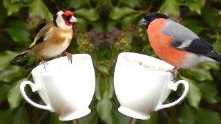 Video Beautiful Birds on A Tea Cup Feeder - Relaxing Bird Video & Nature Sounds in HD - Goldfinch & More download MP3, 3GP, MP4, WEBM, AVI, FLV Mei 2018