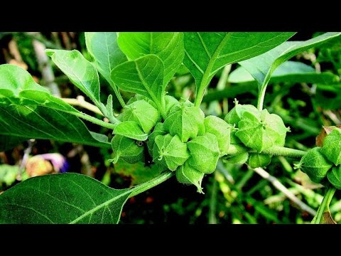 Ashwagandha and Testosterone: Potent Adaptogenic Testosterone Booster and Cortisol Suppressant