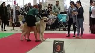 Смотреть видео 30 ноября 2019 Выставка собак г. Санкт-Петербург, эксперт Мотор Г. ТИМЕРТАШ ШАХНАЗАР сын Яны и Лондо онлайн