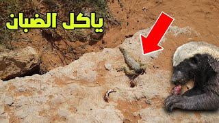 غرير العسل ياكل الضبان في السعوديه