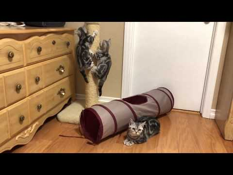 Milla's Kats American Shorthair Kittens Scratch Post Training