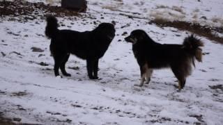 Пастушьи собаки в Монголии в Увс Аймаке