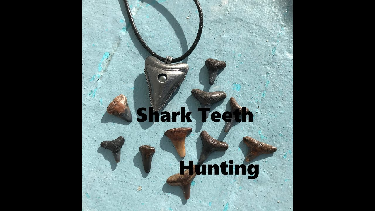 Hunting For Sharks Teeth And Fossils On Manasota Key Beach February 2018