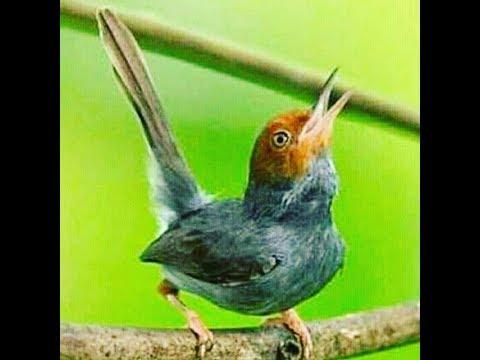Kicauan Suara Burung Pagi Hari Yang Merduuu
