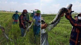 """Thanh Hóa: Dân vây bắt trăn """"khủng"""", nặng 25kg ở đồng lúa đang gặt"""