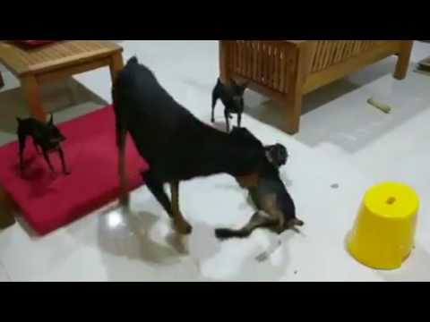 Doberman Puppy Having Fun With A Min Pin - Dogs Playing