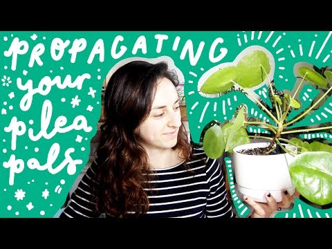 Propagating your Pilea Peperomioides Pals
