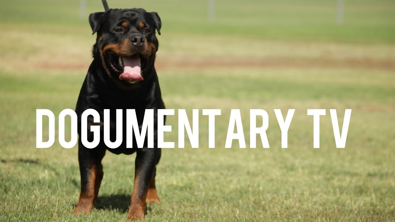 Rottweilers German Serbian And American And Other Things Of