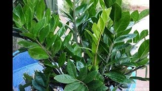 155.ज़िज़ी प्लांट को कैसे लगाएं /How to grow and care Zz plant.