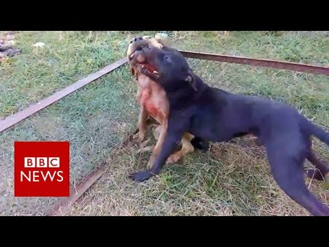 Inside The Illegal World Of Organised Dogfighting - BBC News