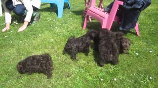 Chocolate Coloured Male Miniature Schnauzer Puppies