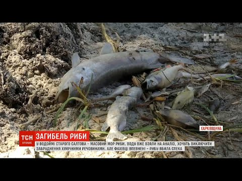 ТСН: У Харківській області зафіксовано масовий мор риби