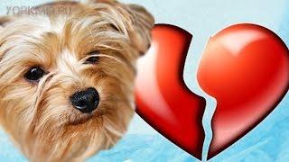 Инфаркт у собак | Симптомы | Лечение | Стадии.