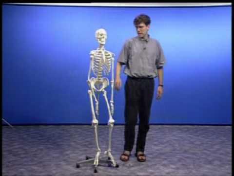 Anatomie - Musculus brachium - Armmuskeln - YouTube